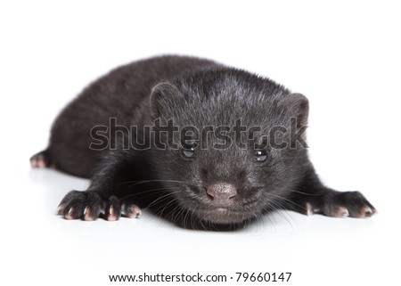 American Mink 1 month. Black puppy on a white background