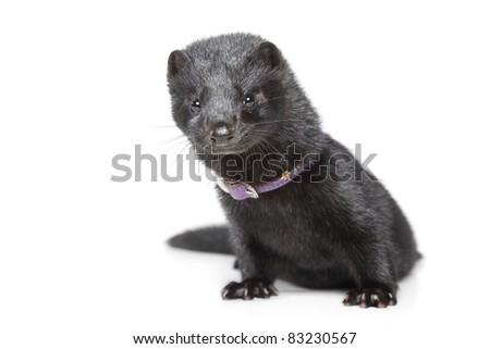 American Mink ( Mustela vison ) on a white background