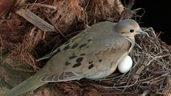 American Mourning dove sitting eggs