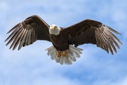 American National Symbol Bald Eagle with Wings Spread on Sunny Day Isolated by Sky