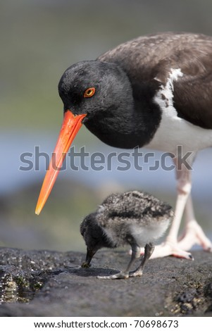 American Oystercatcher (Haematopus palliatus galapagensis), Galapagos subspecies parent feeding a downy chick on Santiago Island, Galapagos.