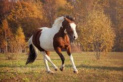 American Paint Horse - action portrait