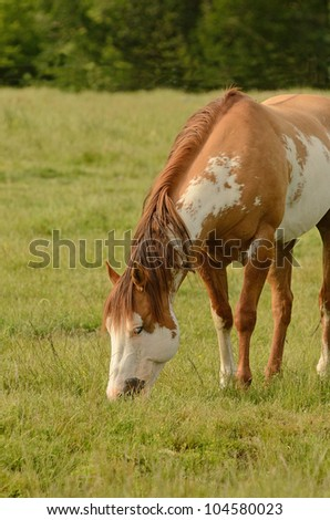 American paint horse on a cattle ranch in the Umpqua Valley near Roseburg Oregon