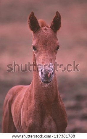 American paint horse stud colt curious about the camera