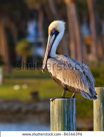 American pelican rests on post in Florida