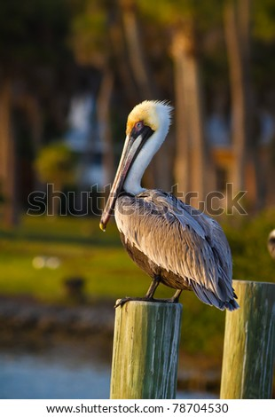 American pelican sits on pylon at sunset