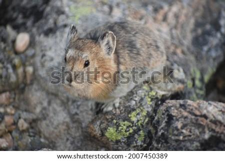 American Pika feeding in the alpine tundra of Rocky Mountain National Park Zdjęcia stock ©