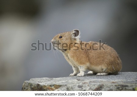 American Pika in Yellowstone National Park - Pikas are an indicator species for climate change Zdjęcia stock ©