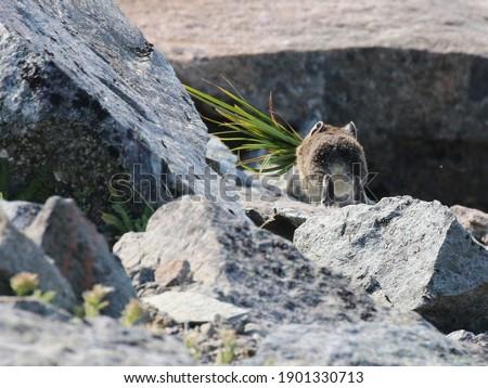American Pika Running Away with Grass Zdjęcia stock ©