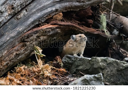 American pika sitting  at the entry to its den and  next to its haypile Zdjęcia stock ©