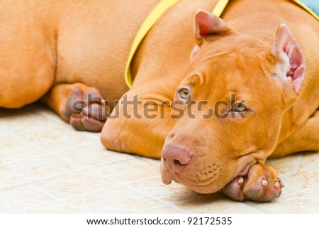 American Pit Bull Terrier - stock photo