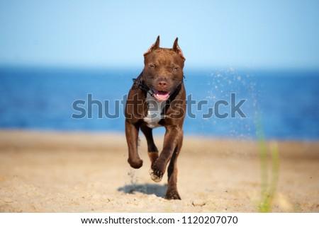 american pit bull terrier dog running on the beach #1120207070