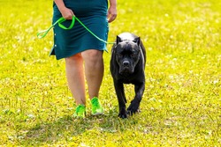 American Pit Bull Terrier with black fur on a walk in the park. Woman leads on a leash a large aggressive dog