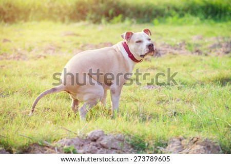 American Pitbull puppy shit  on grass field