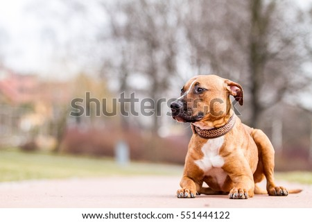 American pitbull terrier, pitbull, apbt #551444122