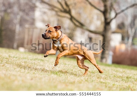 American pitbull terrier, pitbull, apbt, running pitbull, pitbull with ball