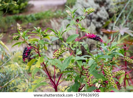 American pokeweed or poke sallet or dragonberries plant with ripe and green berries. Phytolacca americana family Phytolaccaceae. Stock photo ©