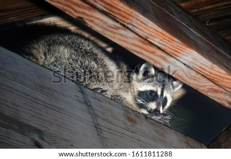 American raccoon climbed into the attic of a house Stock photo ©