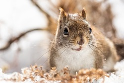American red squirrel in winter scenery