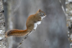 American red squirrel perched on a branch in winter in Sax Zim Bog, Minnesota