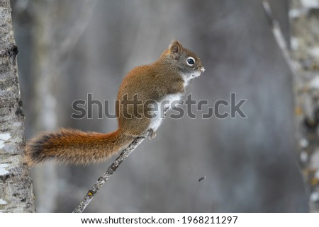 American red squirrel perched on a branch in winter in Sax Zim Bog, Minnesota Zdjęcia stock ©