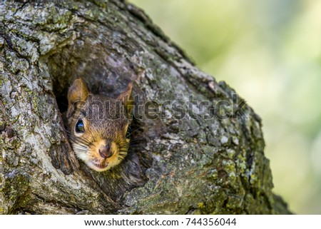 American Red Squirrel - Tamiasciurus hudsonicus, closeup of squirrel peeking out of a small hole in a tree trunk.  Bokeh of leaves in the background.
