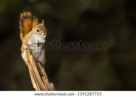 American Red Squirrel - Tamiasciurus hudsonicus, perched on a branch. making eye contact, snow flakes in it's face. Background is bokeh of pine trees.