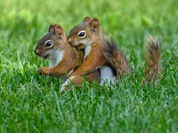 American Red Squirrels Mating
