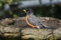 American Robin bathing with spray of water beads