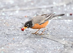American robin bird eating red fruit on the ground