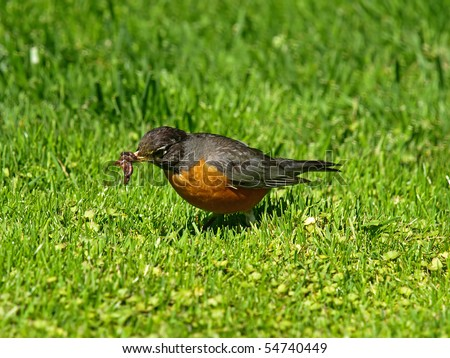 American Robin Catching Earthworms