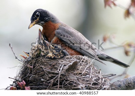 American Robin mother with babies in nest