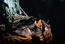 American robin nestlings waiting for food