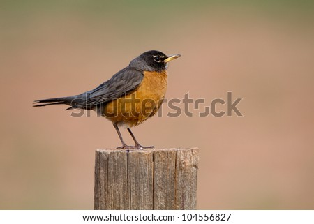 American Robin on a fencepost in early morning light - stock photo