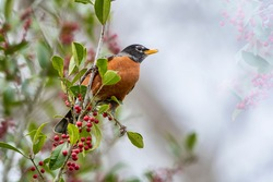 American Robin on Cloudy Day in American Holly Tree
