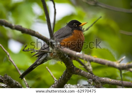American Robin perched on a tree branch (turdus migratorius)