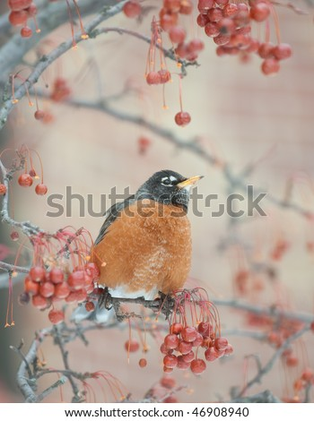 American robin sitting in a berry tree on cold winter day