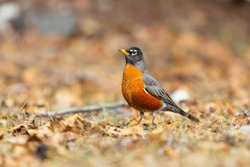 American Robins are fairly large songbirds with a large, round body, long legs, and fairly long tail. Robins are the largest North American thrushes. Wildlife photography