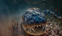 American Saltwater alligator crocodile in water very close underwater shot