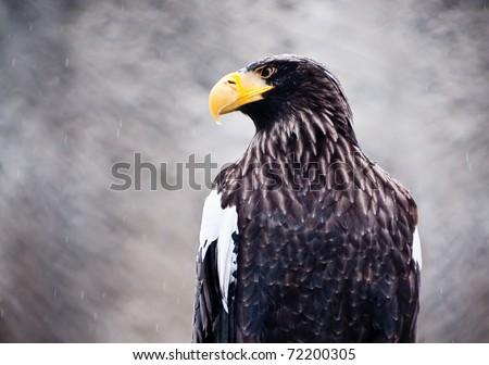 American sea eagle portrait