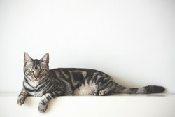American Short Hair cat laying on white wall with copy space background