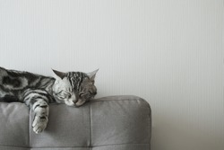American shorthair cat, Classic silver tabby, Sleeping on cloth sofa gray color on backdrop of white wallpaper in living room with copy space.