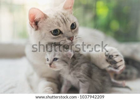 American shorthair cat hugging her kitten with love #1037942209