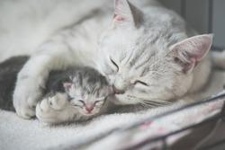 American shorthair cat kissing her kitten with love