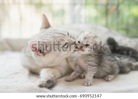 American shorthair cat kissing her kitten with love