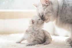American shorthair cat kissing her kitten with love under sunlight