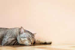 american shorthair cat sleeping on the floor with orange wall in beautiful room. vintage photo and film style with copyspace.