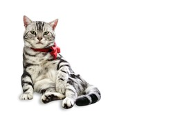 American Shorthair male cat sitting with red bow tie on neck, Isolated on white background with copy space.