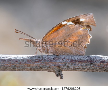 American snout nosed butterfly (Libytheana carinenta). This migratory species mimics a Monarch while open and a leaf while closed.
