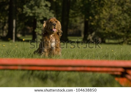 American  Spaniel sitting in front of Agility obstacle